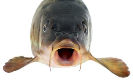 pez carpa: Cabeza de la carpa común aislado sobre fondo blanco Foto de archivo