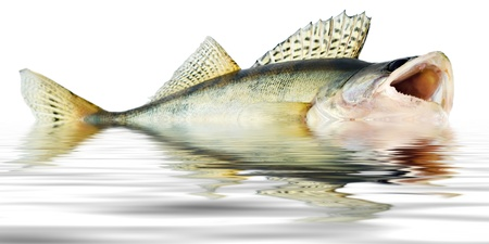 bass fish: fish walleye zander reflections of the wave Stock Photo