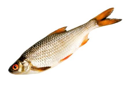 Fish isolated on white background Stock Photo - 14479013