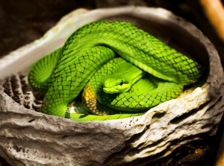 viridis: A close-up view of a green snake  Stock Photo