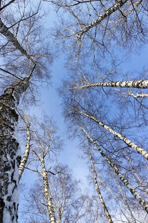 Birch branches of trees up the blue sky photo