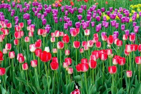 grow tulip field spring background photo