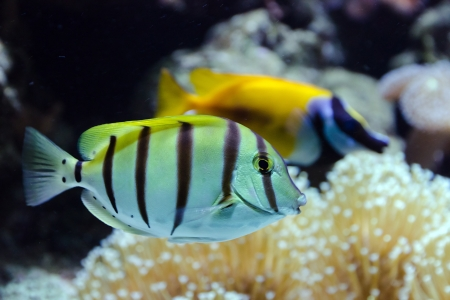 Tropical fish life in coral reef  photo