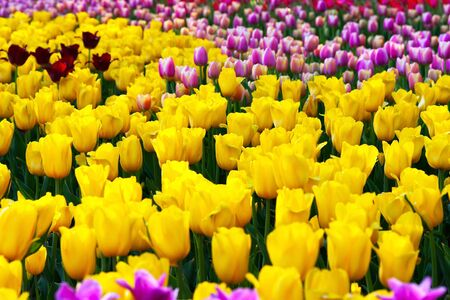 Spring flower tulips yellow and  pink spring bed photo