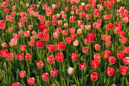 red blossom yellow tulip field spring background photo