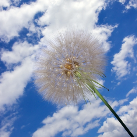 dandelion seeds on cloudy sky  photo