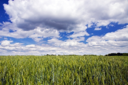 Green wheat on clouds blue sky background photo