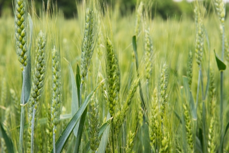 ear of wheat agriculture green background  photo