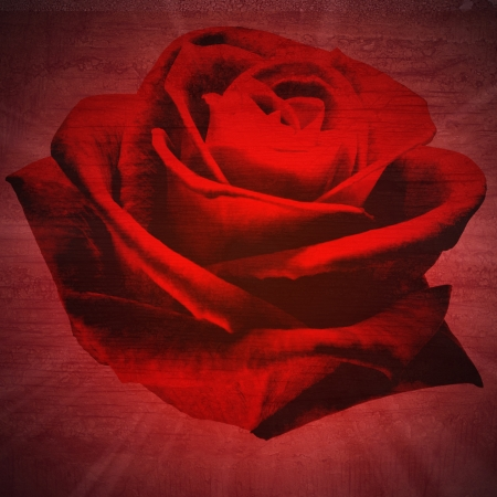 red rose petals close-up in black wall wood texture background photo