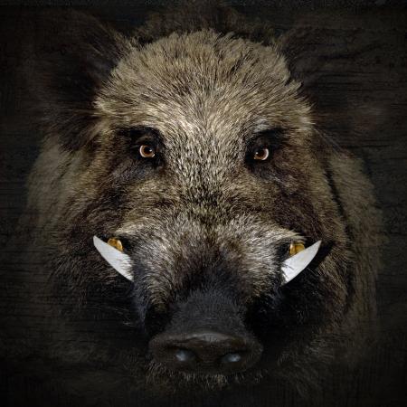 黒の背景で野生のイノシシの肖像画 写真素材