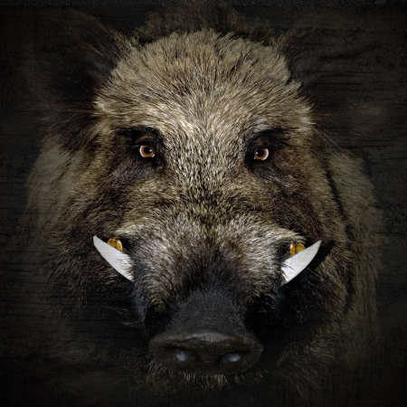 snout: wild boar portrait in black background  Stock Photo