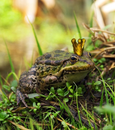 The Frog Prince sitting on the edge by  green vegetation  Stock Photo