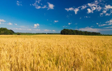 yellow wheat field with blue sky background  photo