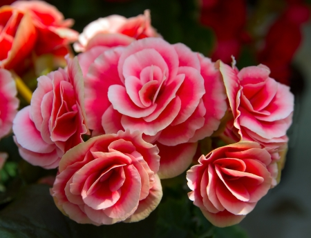 rose bush: red flowers rose bush  Stock Photo
