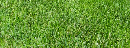 grassy plot: Beautiful green grass texture from golf course Stock Photo