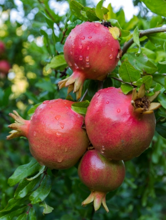 Pomegranate fruits with green leaves tree Stock Photo