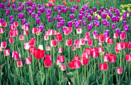 spring tulips viintage retro style background
