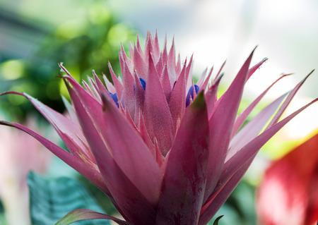 aechmea: Aechmea Fasciata Bromeliad cactus flower nature.