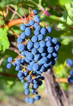 cabernet: ripe cabernet grapes vinyard in Crimea Stock Photo