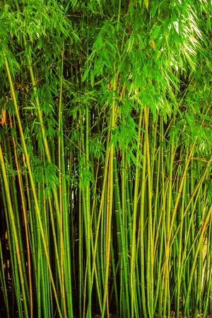 grew: bamboo grew green wall Stock Photo