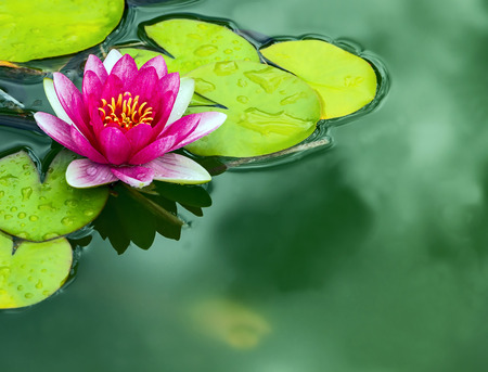 a close up detail of a pink Lotus water lily Stock Photo