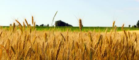 landschap tarweveld