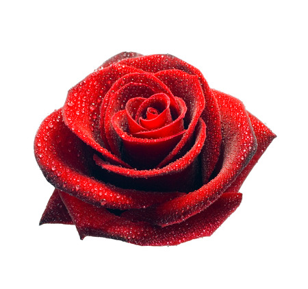 Single red rose dew drops Isolated on white background. photo