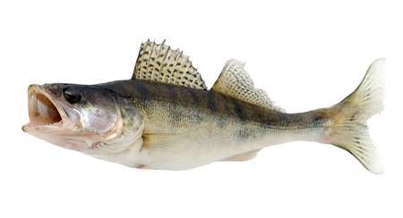 Fish Walleye or Zander isolated over white photo