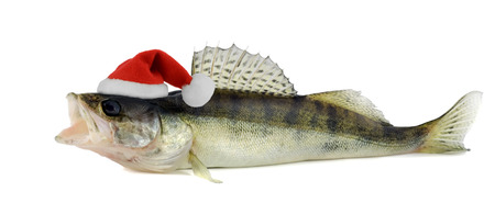 walleye: Santa hat in Walleye or Zander isolated on white  Stock Photo