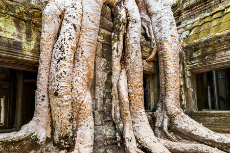 Old tree Covering the Stones of the Temple of Ta Prohm in Angkor Wat