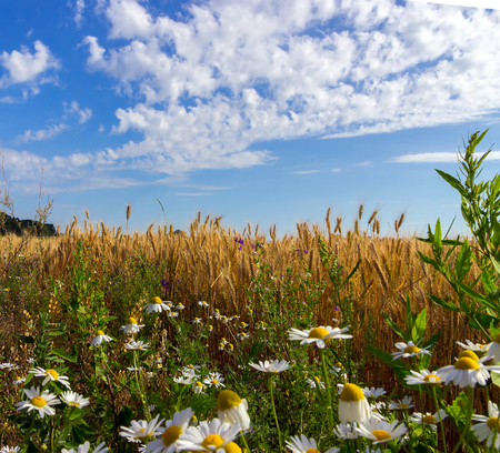 daisywheel: golden wheat and field of camomiles.