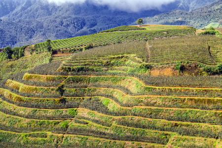 bali province: Landscape of Terraced rose Field hill Sa Pa. Lao cai province northern Vietnam