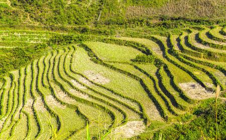bali province: Landscape Terraced Rice Field hill Sa Pa. Lao Cai province northern Vietnam