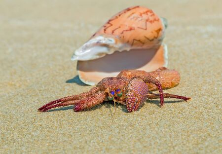 hermit crab: The Hermit Crab on the Beach, Seashell