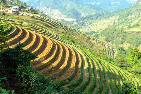 bali province: Terraced rice fields in Sapa, Lao Cai, Vietnam, eco-tourism