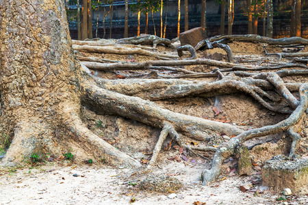 kampuchea: banyan tree roots in ruin Angkor Wat, part of Khmer temple complex, Asia. Siem Reap, Cambodia. Ancient Khmer architecture in jungle.