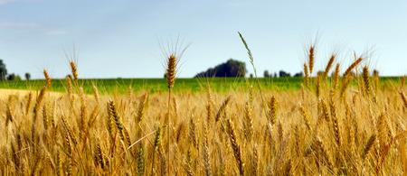 avena: Campo de trigo de cultivo maduro, la agricultura Foto de archivo
