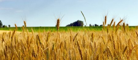 field sunset: Wheat field ripe grow, agriculture
