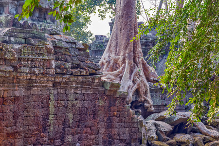 banyan tree roots in ruin Ta Prohm, part of Khmer temple complex, Asia. Siem Reap, Cambodia. Ancient Khmer architecture in jungle.