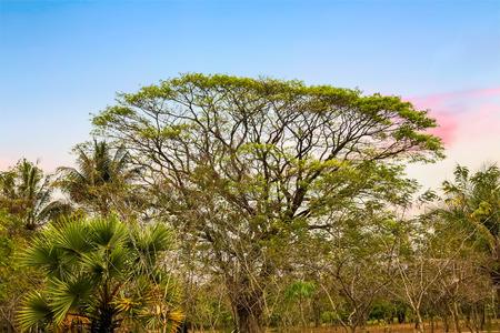 tropical tree: �rboles de lluvia (Albizia saman), �rbol tropical en la selva de Camboya