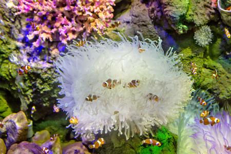 peces payaso: Peces pez payaso en la fauna de coral