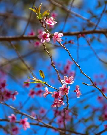 Sakura blossom tree - Japanese cherry tree with flying petals Stock Photo