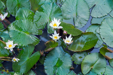 white lilly: white lilly on lake, Lotus water plant in a pond Stock Photo