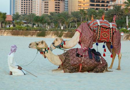 saddle camel: Camel lay with traditional Bedouin saddle in Dubai Marina beach sand, United Arab Emirates Dubai Editorial