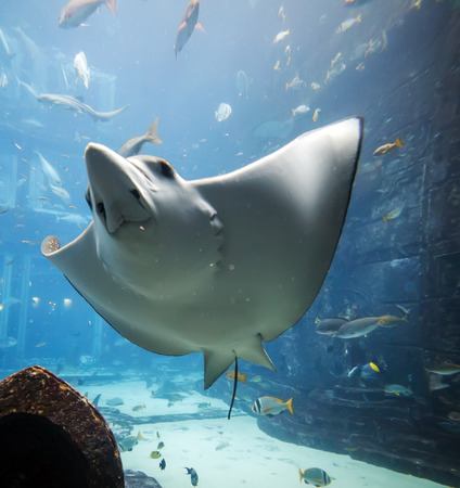 spotted ray: Eagle ray flying underwater (Aetobatus narinari) swimming over coral reef