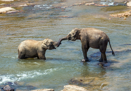 Sri Lanka Elephant playful in river