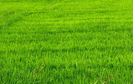 green meadow: rice green field in Asia agriculture
