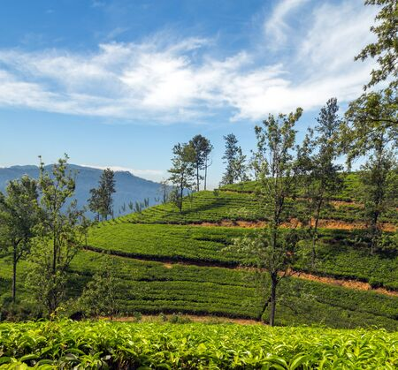 agriculture sri lanka: Tea plantations - Landscape with green fields of tea in Sri Lanka agriculture