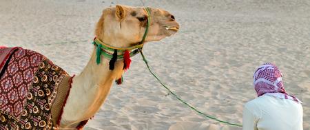 saddle camel: Camel lay with traditional Bedouin saddle in Dubai Marina beach sand, United Arab Emirates