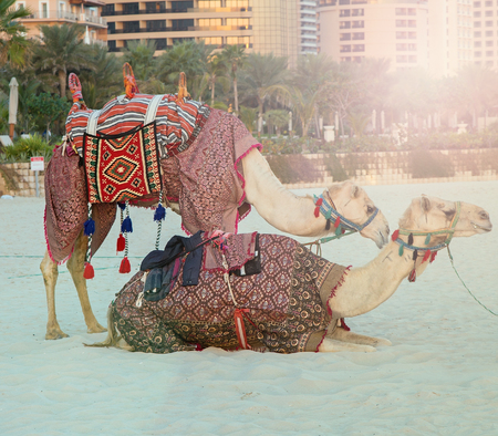 bedouin: Camel lay with traditional Bedouin saddle in Dubai Marina beach sand, United Arab Emirates Dubai, vintage nature background Stock Photo